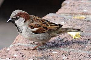 Spatz/Sparrow